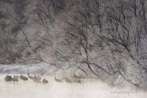 Hokkaido Cranes 07