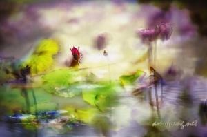 <映荷影 色 水芙蓉> <Lotus Rendezvous Color Bathing Beauty>