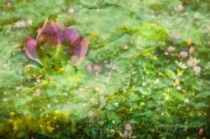 <映荷影 色 夢#1> <Lotus Rendezvous Color Dreamy #1>